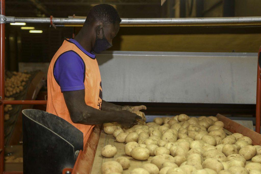 فرز البطاطس بالمخازن المبردة لشركة راسيات