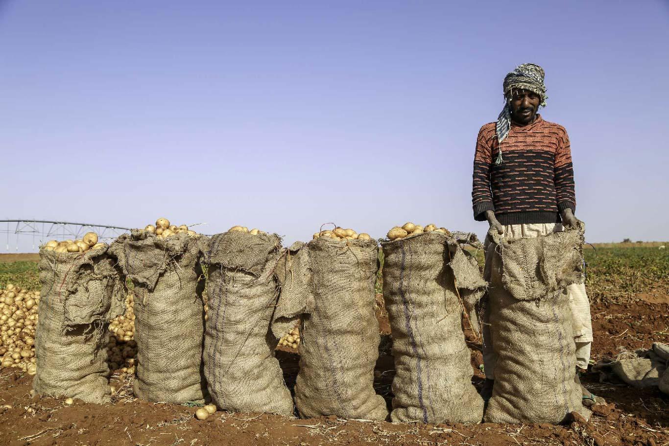 إنتاج البطاطس بمشروع القمة - السودان