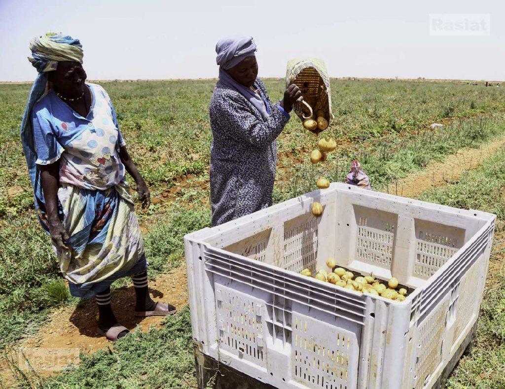 حصاد البطاطس شركة راسيات - السودان