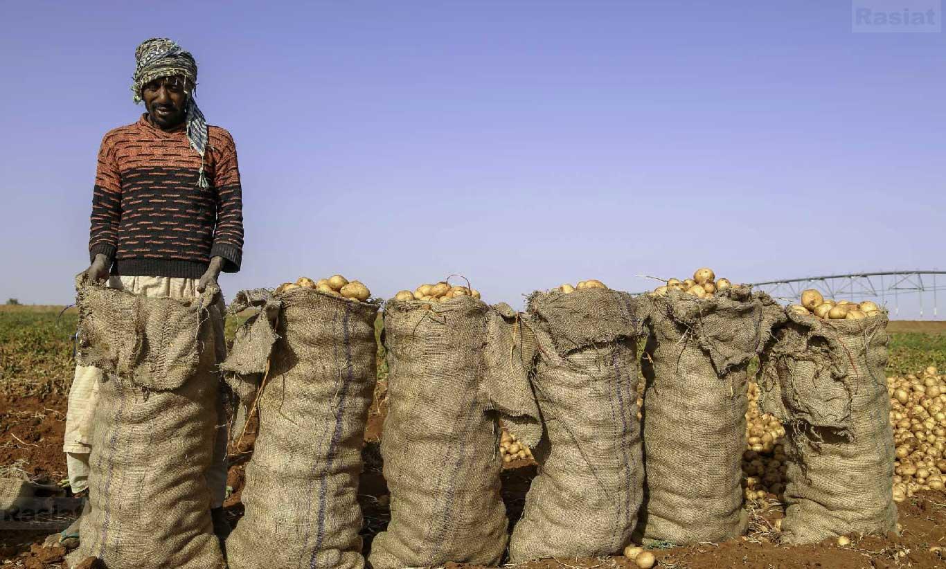 الزراعة التعاقدية - شركة راسيات - السودان